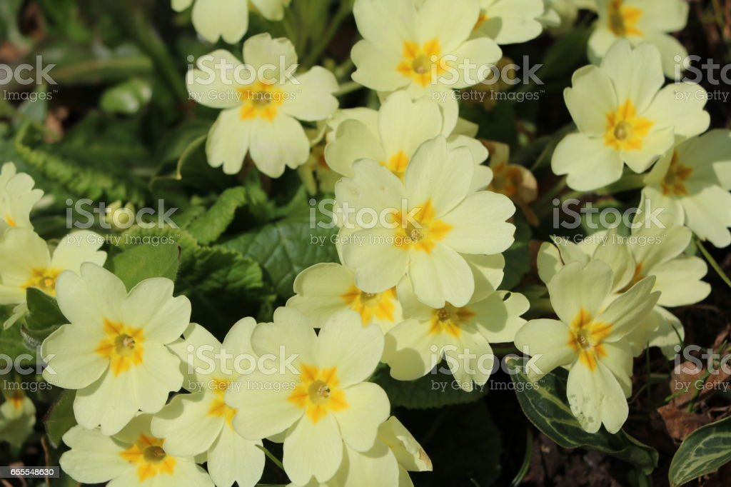 Meadow flower primula acaulis in spring stock photo