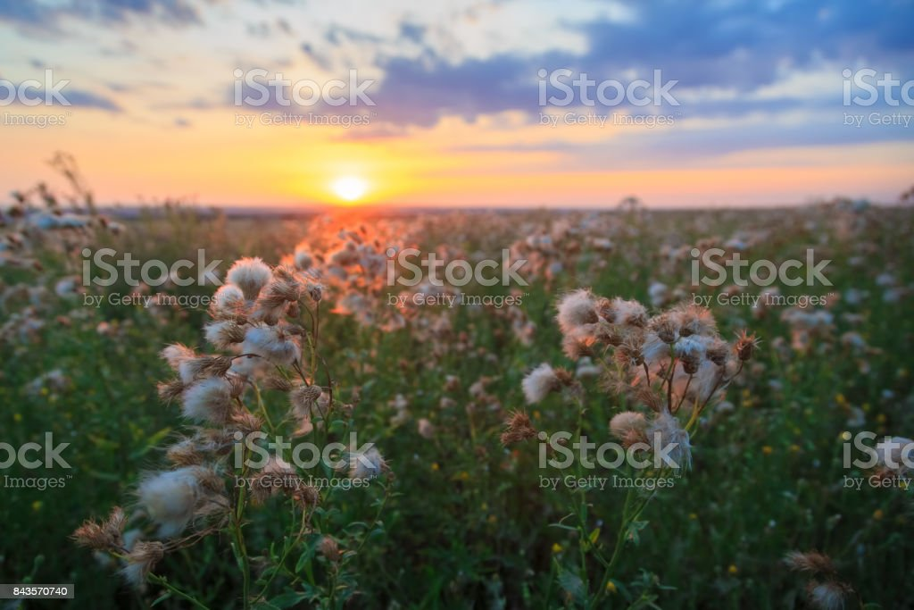 Meadow flowers on a background of colorful sunset in the spring stock photo