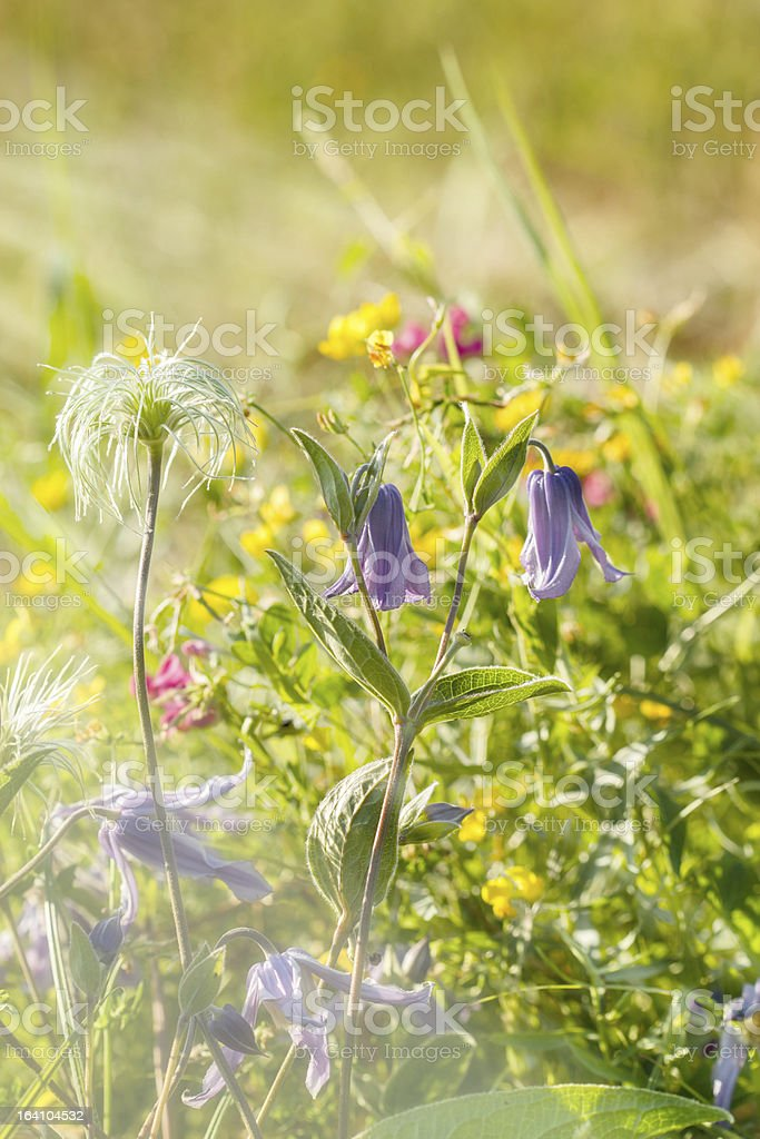Meadow flowers - purple bells royalty-free stock photo