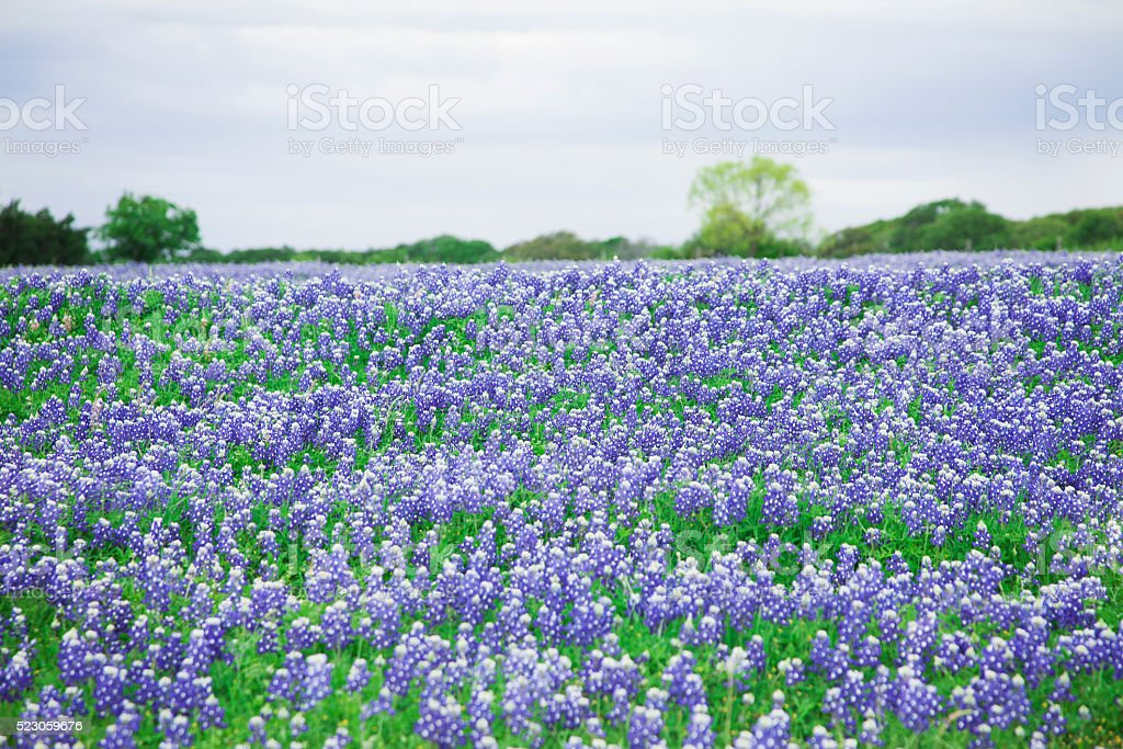 Meadow full of bluebonnet flowers in Texas, USA. stock photo