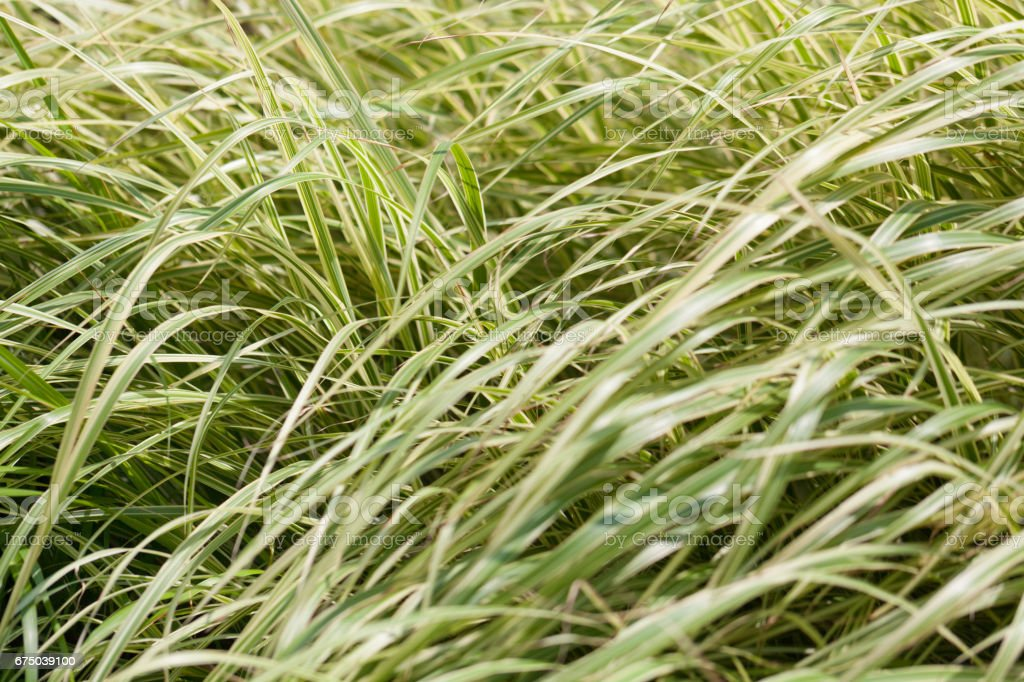 A meadow full of green tall grass stock photo