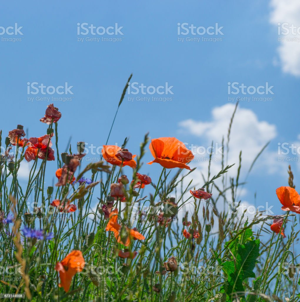 Meadow Full Of Poppy Flowers Against Blue Sky Stock Photo More