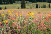 Meadow Full of Pretty High Elevation Summer Wildflowers With Tall Pine Trees In the Background With Copy Space Near Land's End Grand Mesa In Beautiful Western Colorado