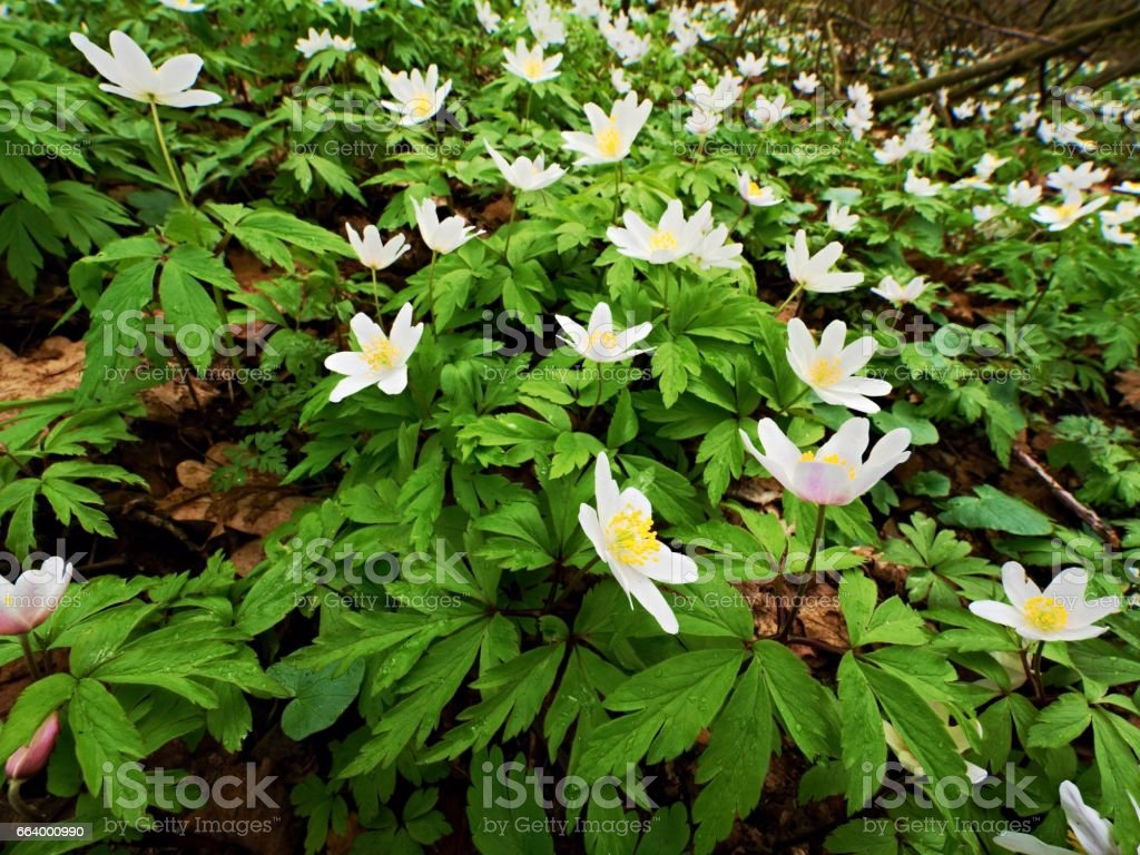 Meadow full of wood anemones in blossom, view close up to ground. Flowering anemone nemorosa stock photo