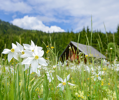 Meadow full with Daffodils, Austrian Alps
