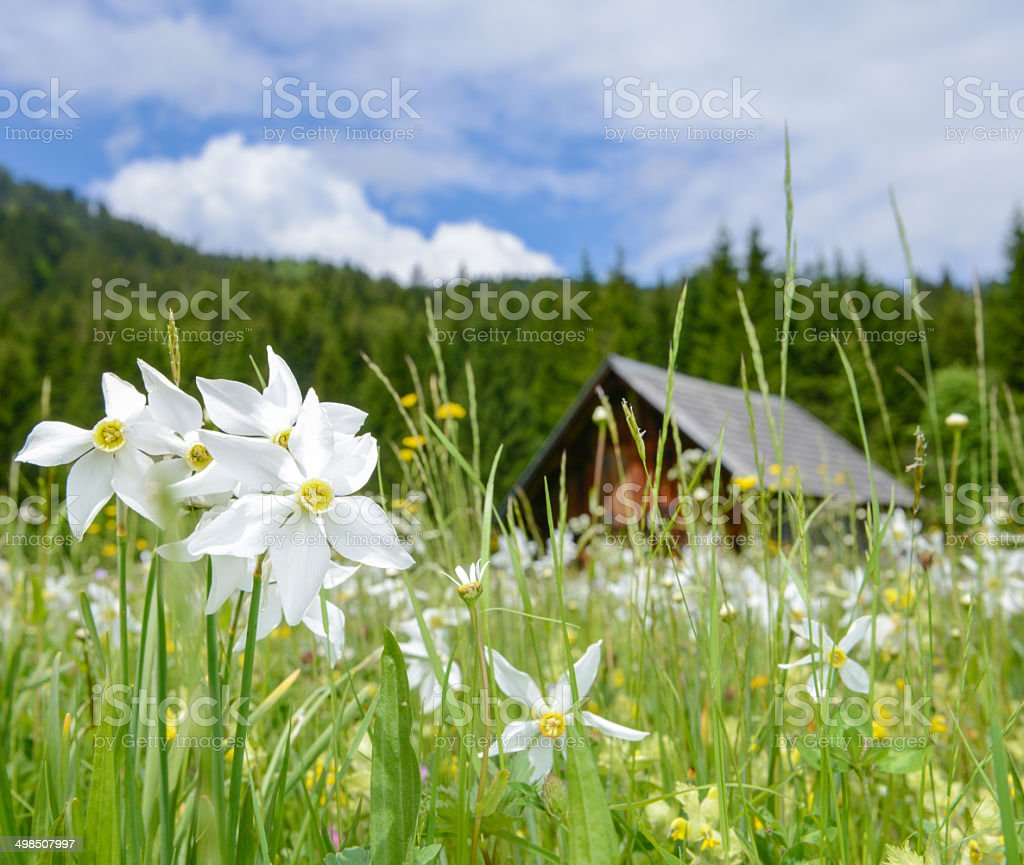 Meadow full with Daffodils, Austrian Alps stock photo