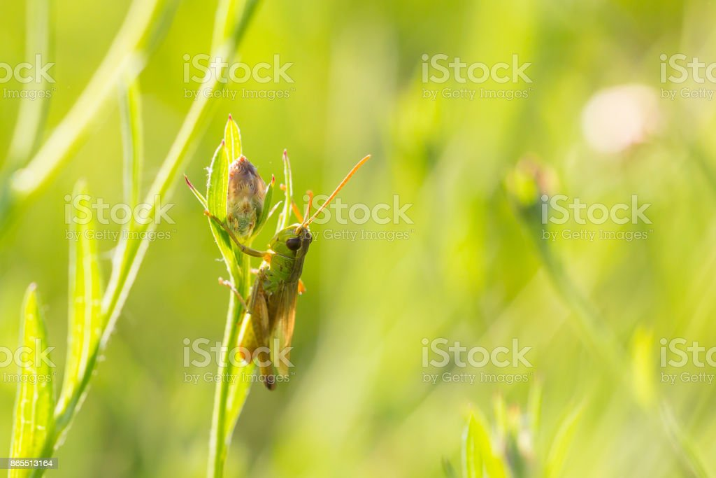 Meadow Grasshopper - Chorthippus parallelus stock photo