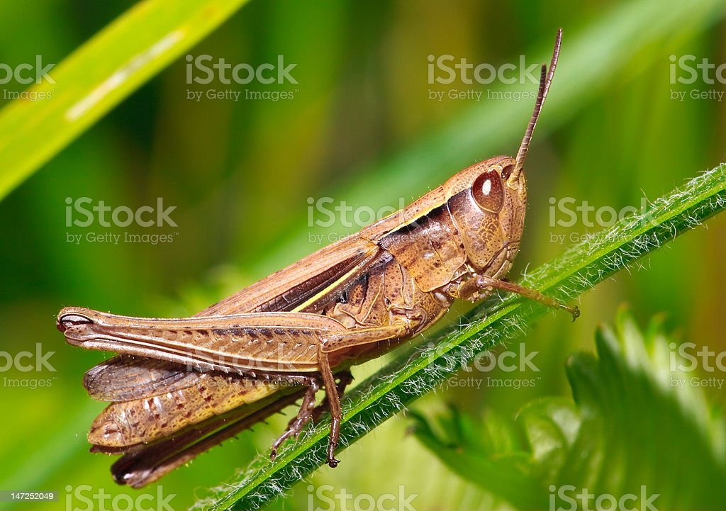 Meadow grasshopper royalty-free stock photo