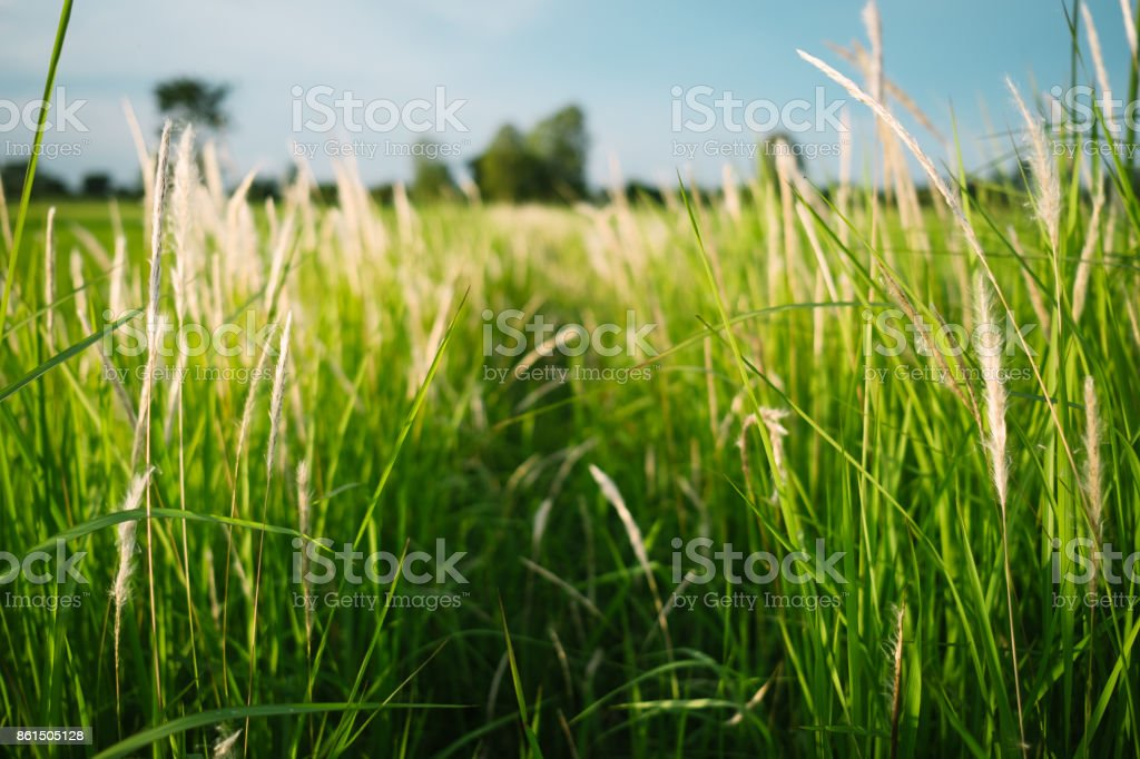 Meadow Grassland and Grass Flowers Field stock photo