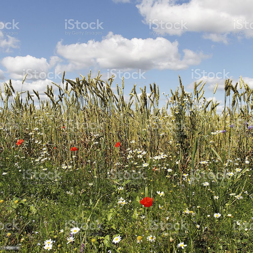 Meadow in a summer. royalty-free stock photo