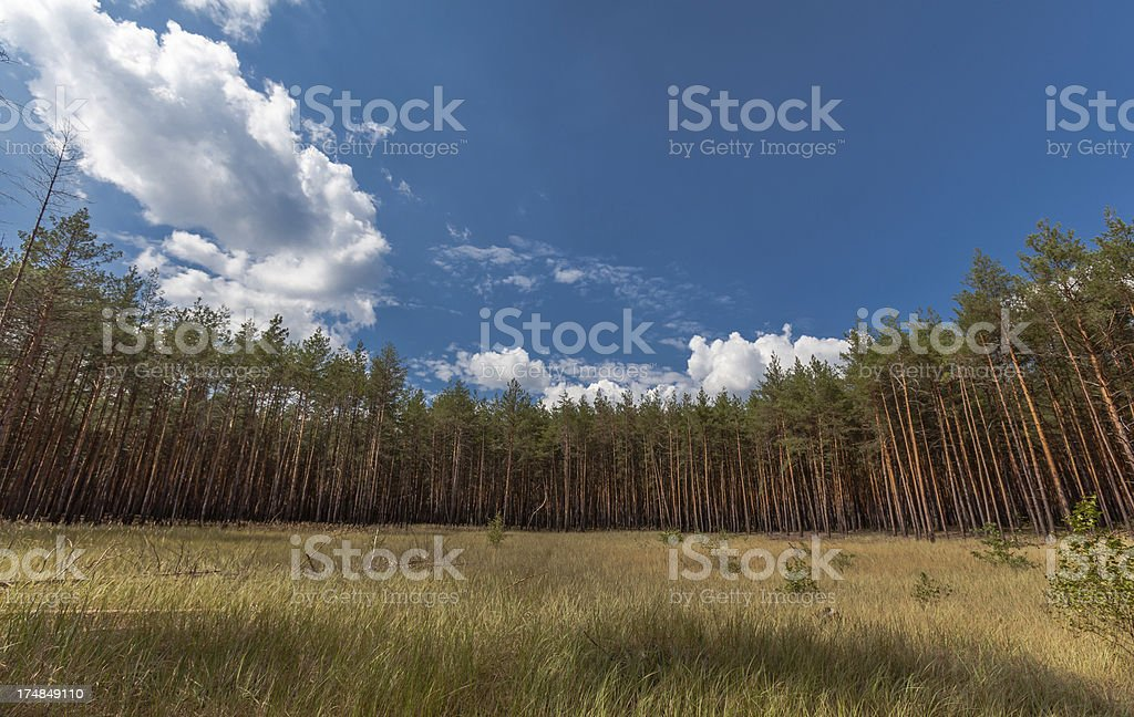 Meadow in pinewood royalty-free stock photo