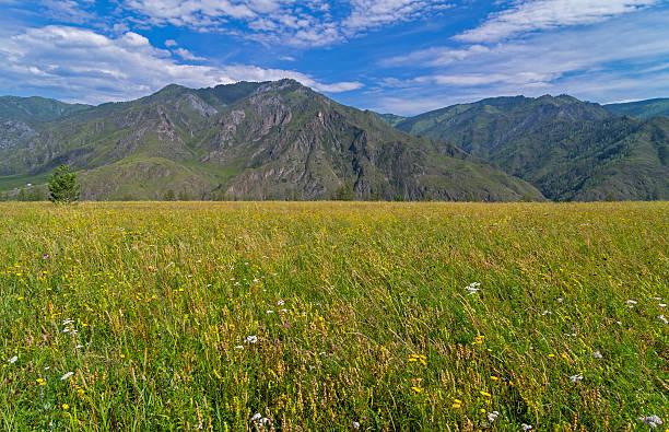 łąka w górach ałtaju w planie. - państwowy rezerwat przyrody altay zdjęcia i obrazy z banku zdjęć