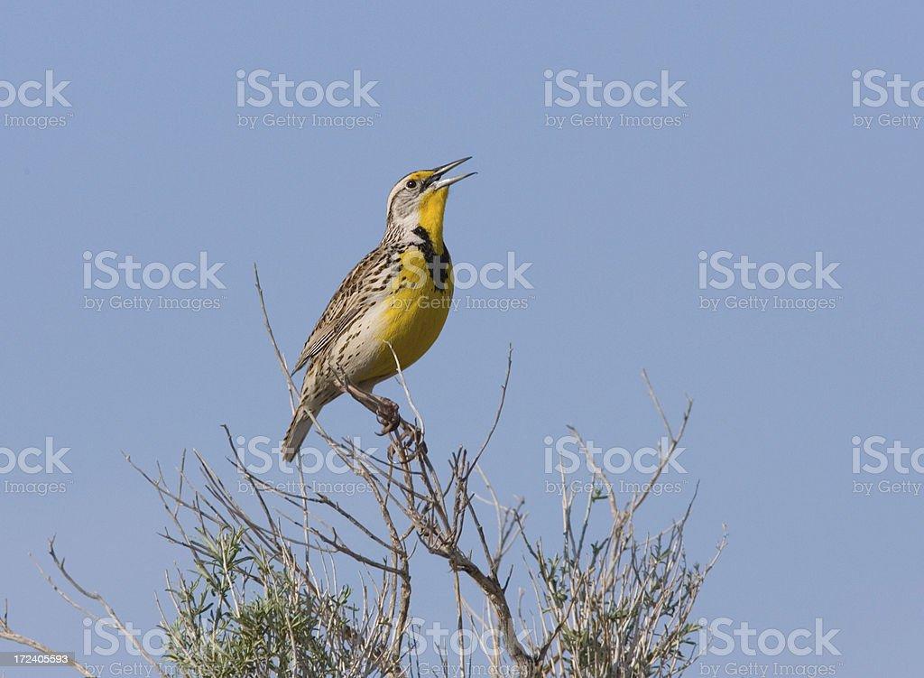 Meadow Lark stock photo