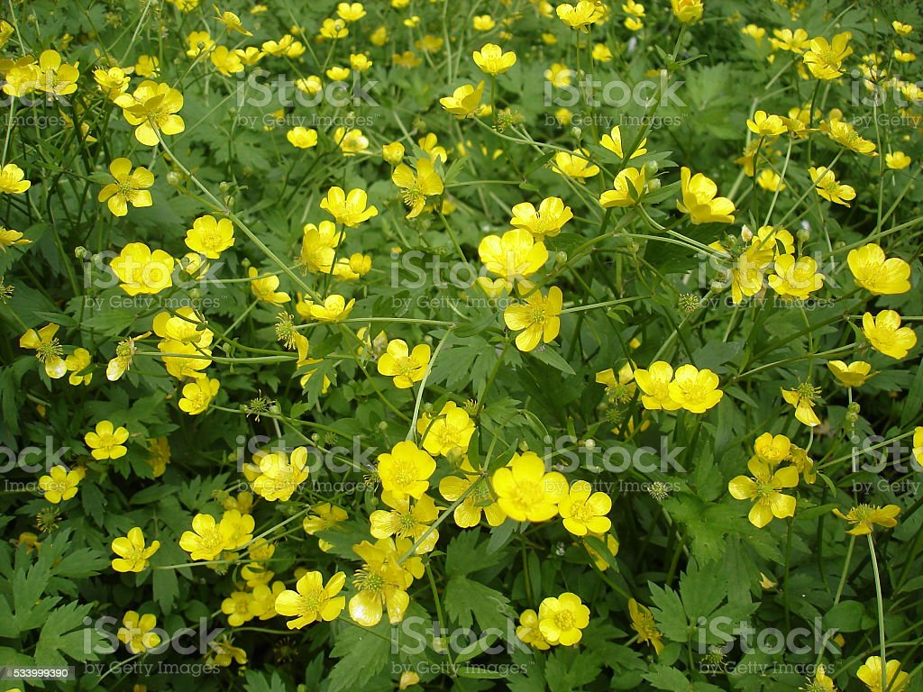 Meadow of blooming buttercup yellow flowers stock photo