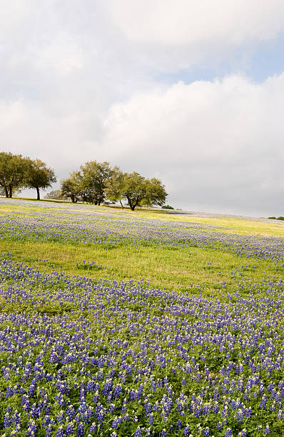 Meadow of Bluebonnets Under Cloudy Sky stock photo
