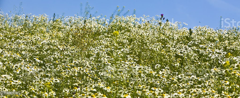 Meadow of camomiles royalty-free stock photo