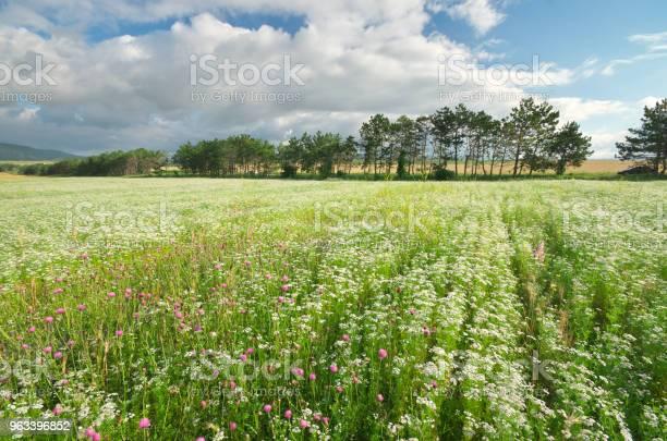 Łąka Kolendry - zdjęcia stockowe i więcej obrazów Nasiono kolendry