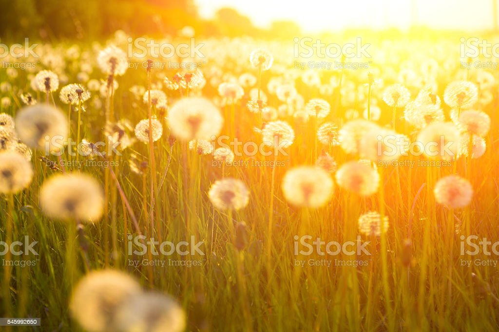 Meadow Of Dandelions to Make Dandelion Wine. stock photo