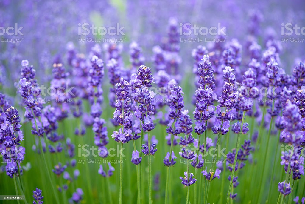 Meadow of lavender. Nature composition. Selective focus stock photo