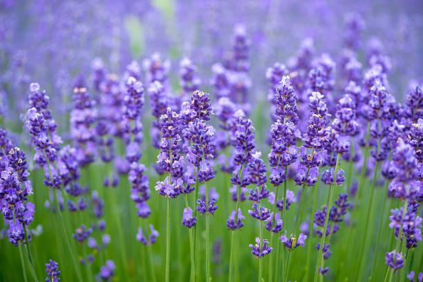 Wiese mit Lavendel. Natur Komposition. Geringe Tiefenschärfe – Foto