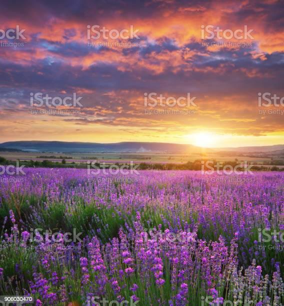 Meadow of lavender picture id906030470?b=1&k=6&m=906030470&s=612x612&h=damztweqtcsjpjq8yyleofqkfv7dphfad jgv09rjjy=