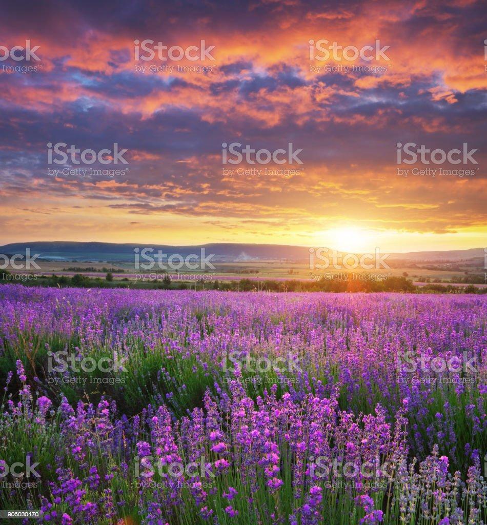 Wiese mit Lavendel. – Foto