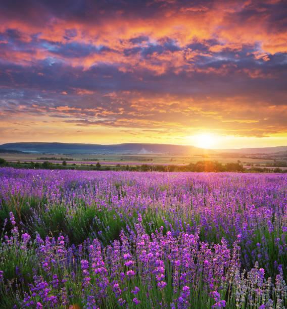 meadow of lavender. - colore lavanda foto e immagini stock