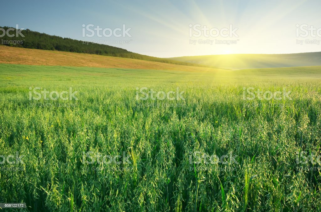 Meadow of oats. stock photo