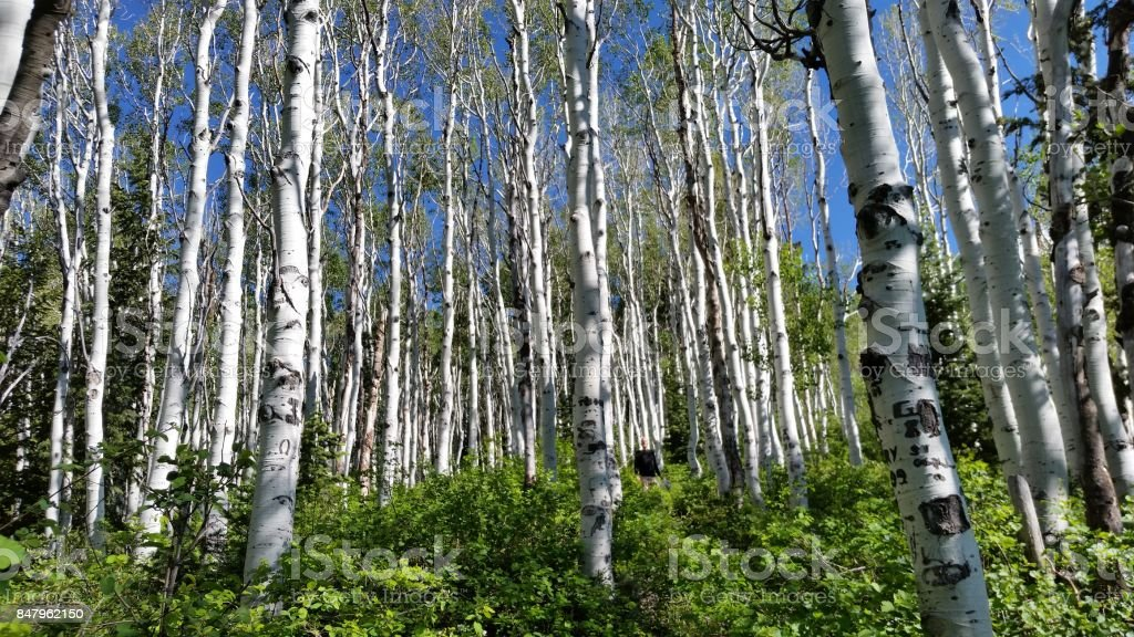 A Meadow of Quaking Aspen Tree's stock photo