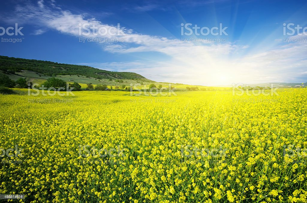 Meadow of rape. stock photo