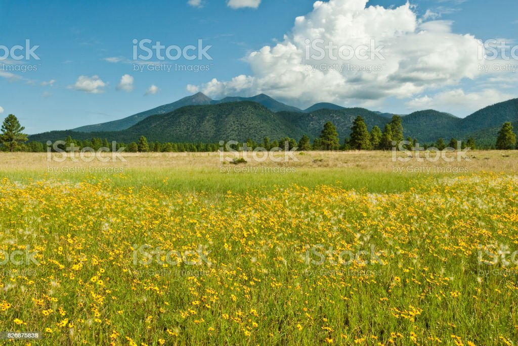 Meadow of Sunflowers and the San Francisco Peaks stock photo