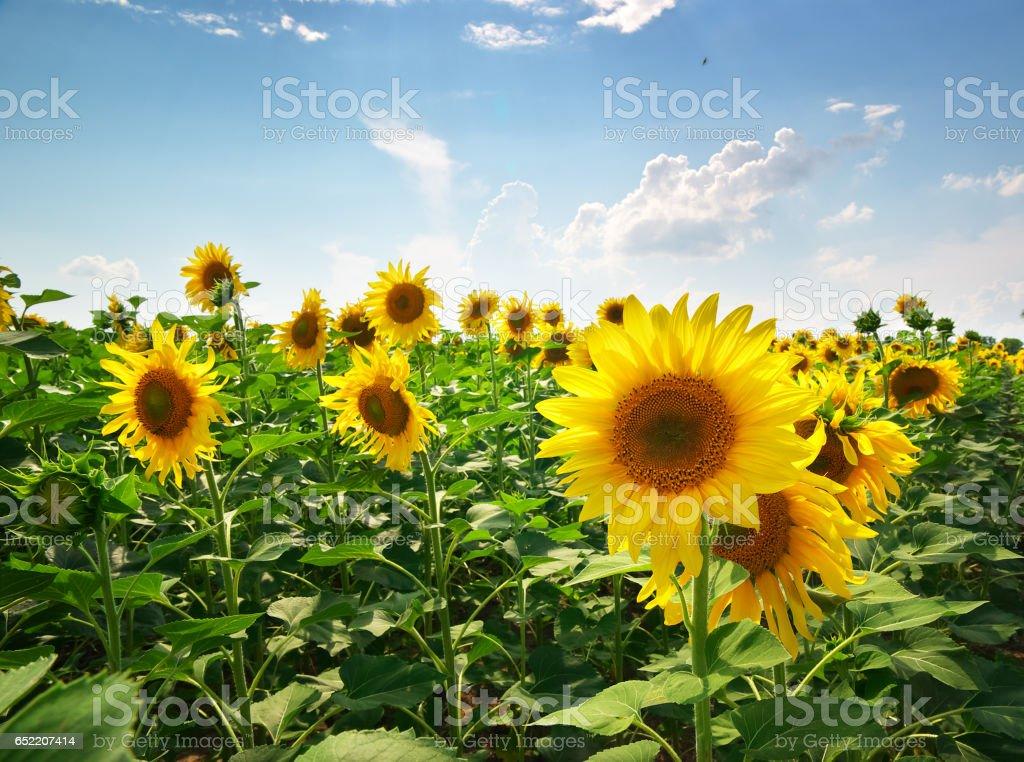 Meadow von Sonnenblumen – Foto