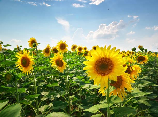 Meadow of sunflowers stock photo