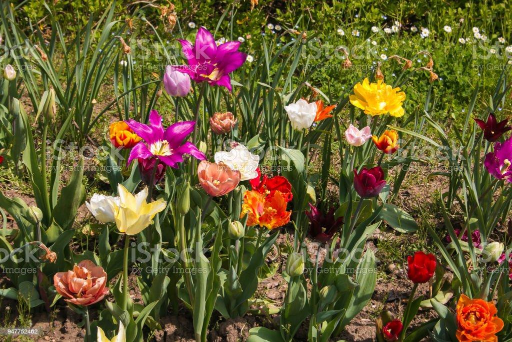 Meadow of varieties of tulips park Sigurtà Valeggio sul Mincio Verona Italy stock photo