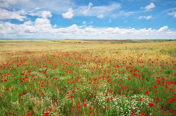 Meadow of wheat and poppy at day. stock photo