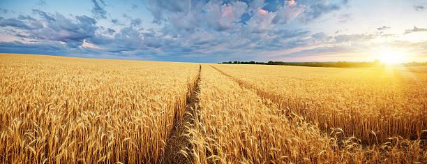 Meadow of wheat. stock photo