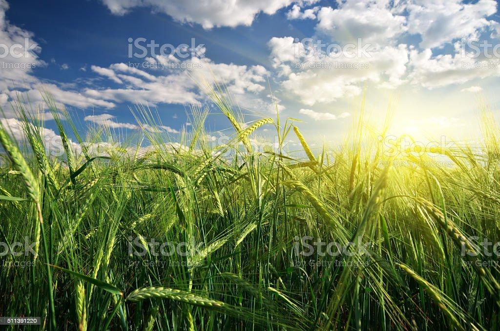 Meadow of Weizen – Foto