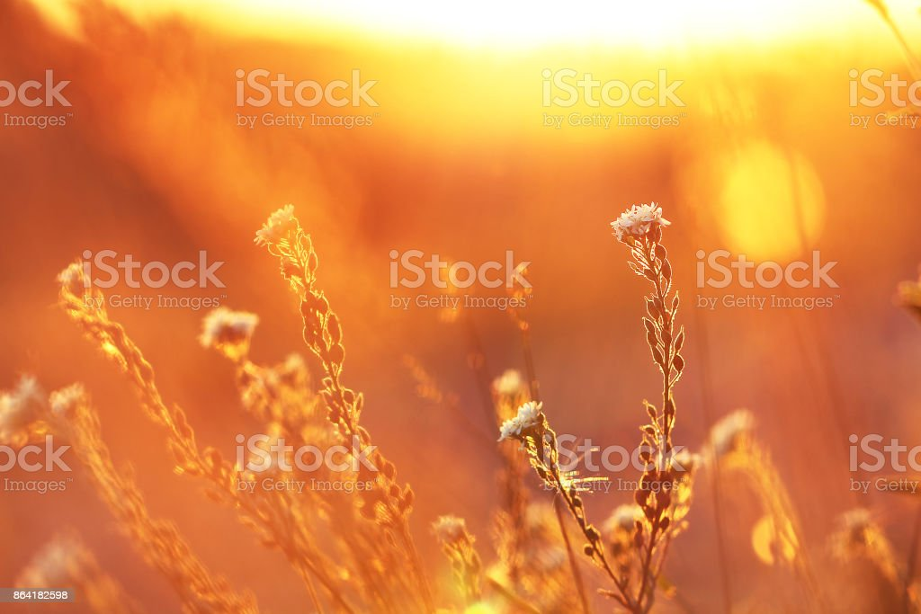 meadow of wild flowers in a field at sunset royalty-free stock photo