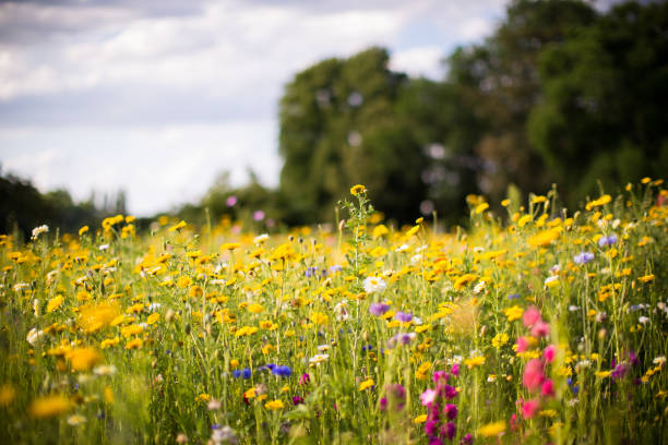 meadow of wild flowers - meadow stock pictures, royalty-free photos & images