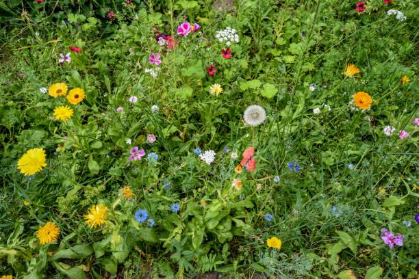 ängen vid vägkanten med högt gräs och många vilda växande färgglada små blommor. - biologisk mångfald bildbanksfoton och bilder