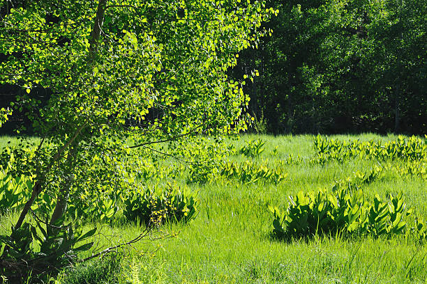 """Meadow """"Aspen trees and corn lilies at Crescent Meadow, Sequoia National Park, USA"""" corn lilly stock pictures, royalty-free photos & images"""
