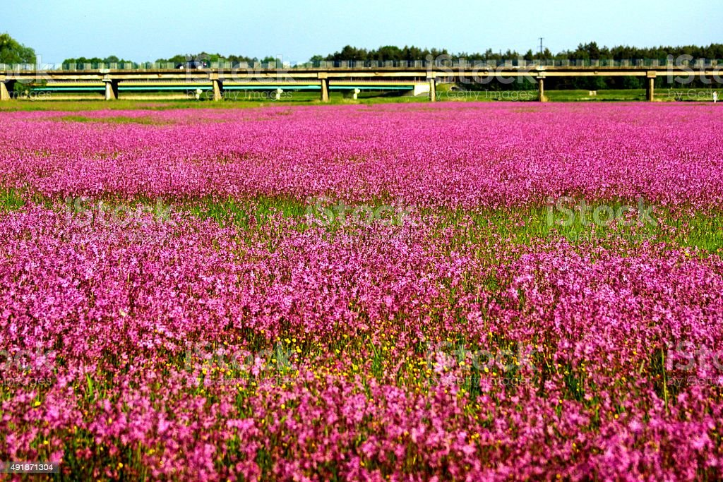 Meadow pink stock photo