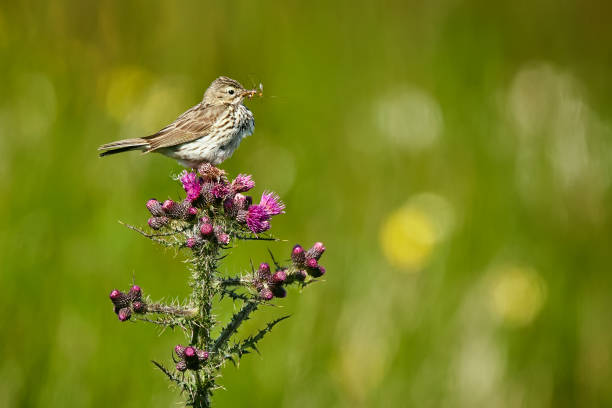 Meadow Pipit - Anthus pratensis sitting on Carduus - Carduus crispus, with insects in the beak. Wildife scene from Norway. stock photo