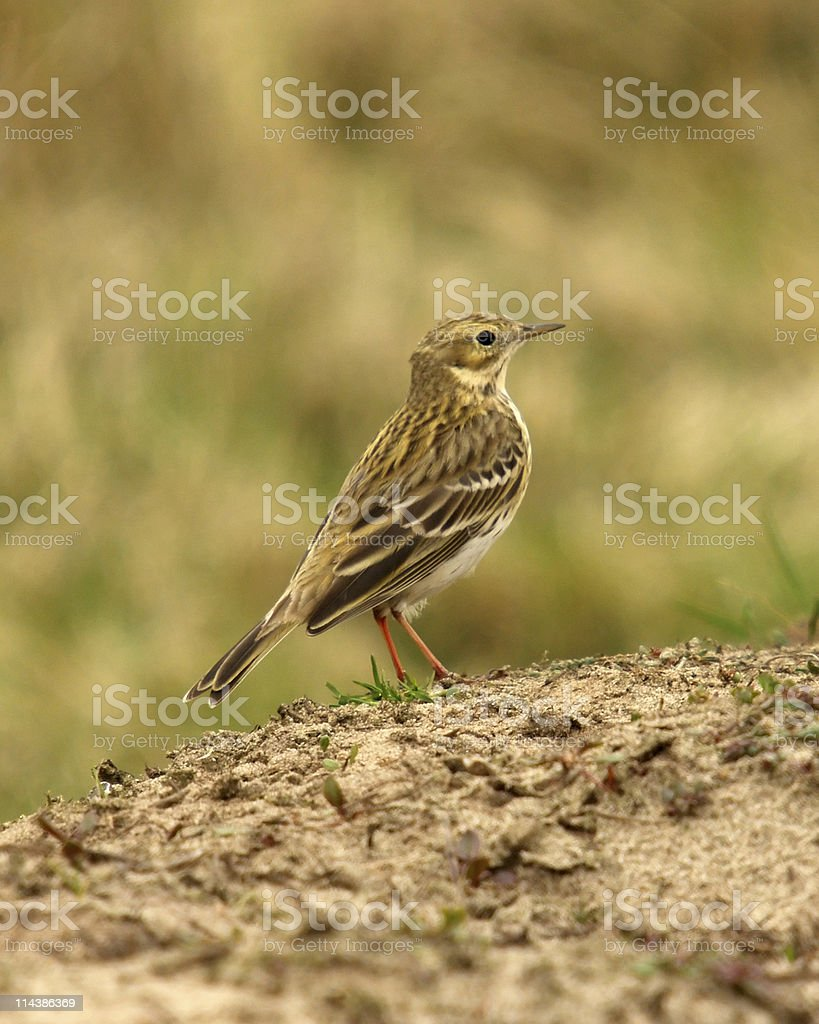 Meadow Pipit (Anthus pratensis) royalty-free stock photo