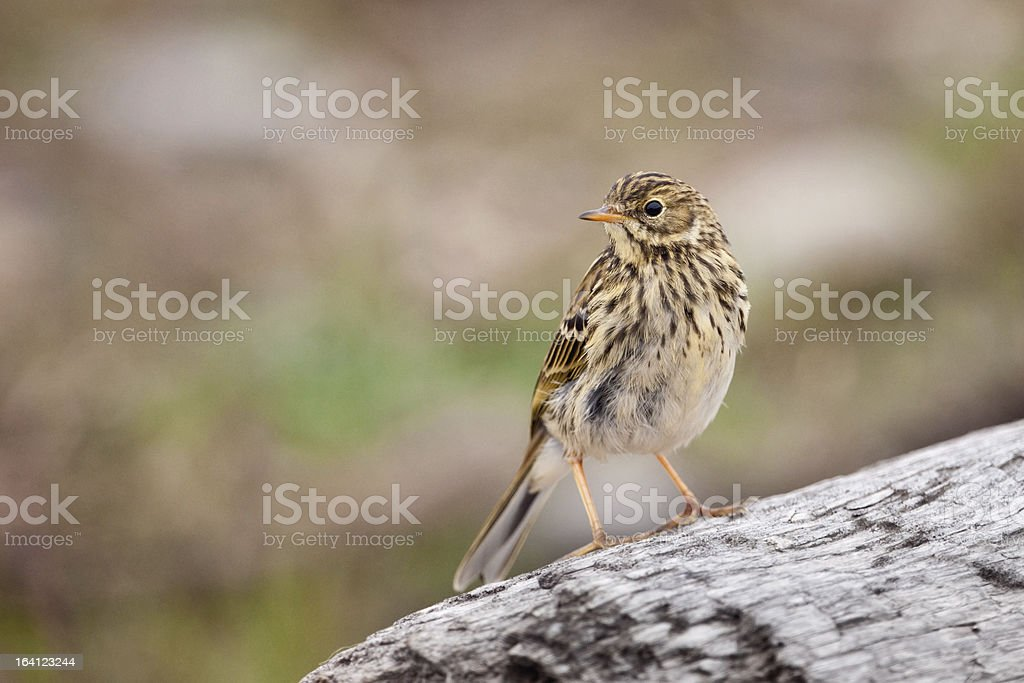 Meadow Pipit royalty-free stock photo
