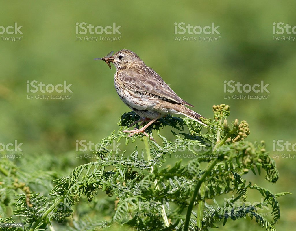 Meadow Pippit on ferns with insect meal royalty-free stock photo