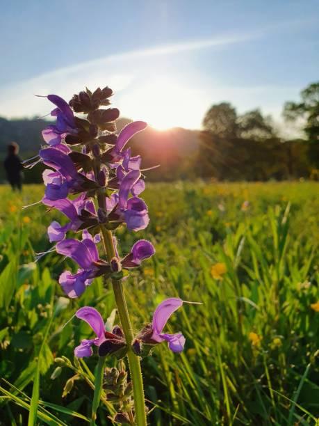 Meadow sage (salvia pratensis) stock photo