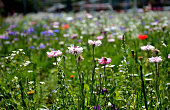 meadow, annuals, flowering, artificial, mixture, sowing, flower, bed, rockeries, between, roads, high way, city, urban, bee, alpine, blossom, centaurea, cyanus, coeli, dianthus, butterfly, eschscholzia, californica, paludosum, refugee, pollination, wildlife, wild, blue, pink, white, red, yellow, purple, mix, colours, detail, close up, landscaping, seed, bees, food, nectar, nature, flowers, garden, plant