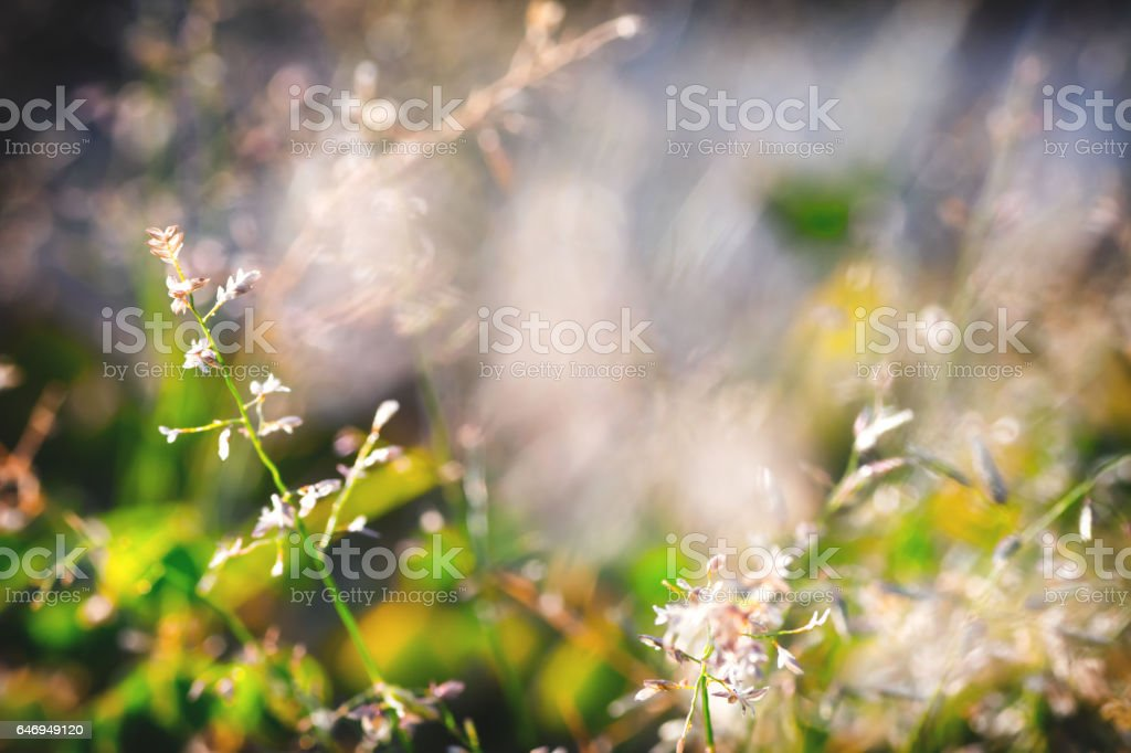 Selective focus on dried plant thin, in meadow under sunlight in...