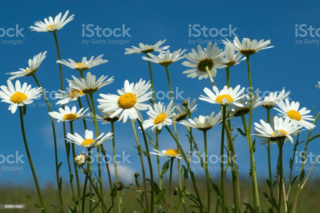 meadow usury flowers Leucanthemum vulgare stock photo